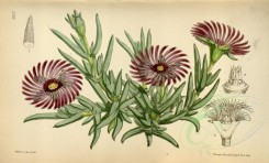purple_flowers-00098 - 6312-mesembryanthemum cooperi [3644x2206]