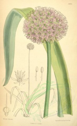 purple_flowers-00122 - 6994-allium suworowi [2155x3540]