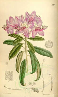 purple_flowers-00193 - 8309-rhododendron harrovianum [2194x3634]