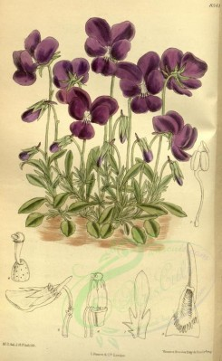 purple_flowers-00203 - 8541-viola gracilis [2134x3466]
