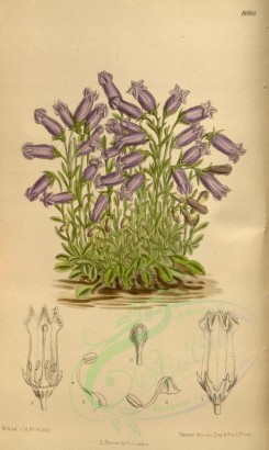 purple_flowers-00220 - 8666-campanula zoysii [2089x3495]