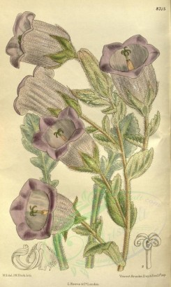 purple_flowers-00225 - 8715-campanula ephesia [2092x3511]