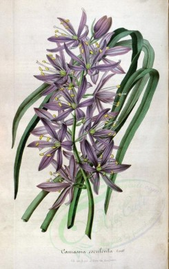 purple_flowers-00251 - camassia esculenta [2260x3598]