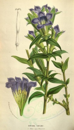 purple_flowers-00315 - gentiana fortunei [2070x3599]