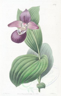 purple_flowers-00379 - 1534-cypripedium macranthos, Large-flowered Lady's Slipper [2758x4342]