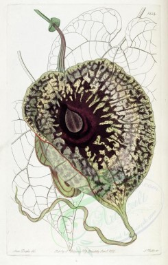 purple_flowers-00402 - 1824-aristolochia foetens, Stinking Birthwort [3005x4716]