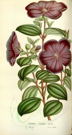 purple_flowers-00467 - pleroma elegans [1992x3735]