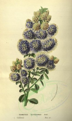 purple_flowers-00499 - ceanothus veitchianus [2094x3502]