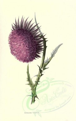 purple_flowers-00556 - NODDING THISTLE [1784x2842]