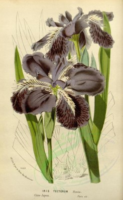 purple_flowers-00590 - iris tectorum [2295x3728]