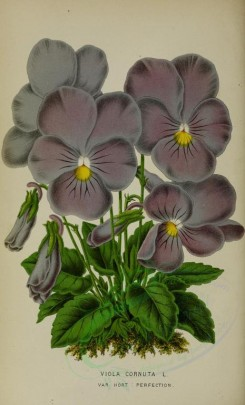 purple_flowers-00657 - viola cornuta [2750x4534]