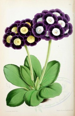 purple_flowers-00659 - Auriculas Alpine [1849x2841]