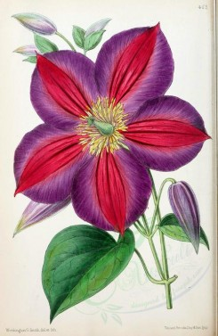 purple_flowers-00660 - Clematis Magnifica [1849x2841]