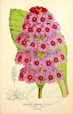 purple_flowers-00688 - primula japonica [1934x3034]