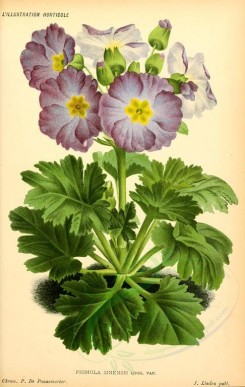 purple_flowers-00690 - primula sinensis [1934x3055]