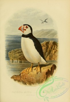 rails-00003 - Puffin, fratercula arctica