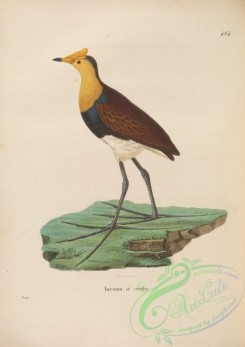 rails-00015 - Comb-crested Jacana