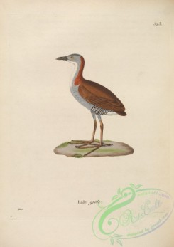 rails-00020 - Grey-breasted Crake