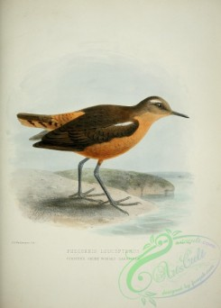 rails-00040 - FORSTER'S SHORT WINGED SANDPIPER