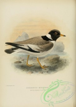 rails-00042 - HOODED RINGED PLOVER