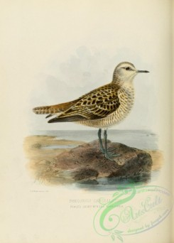 rails-00047 - PEALE'S SHORT-WINGED SANDPIPER