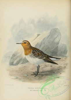 rails-00048 - RED THROATED STINT