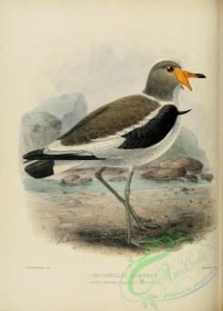 rails-00052 - WHITE-CROWNED WATTLED-LAPWING