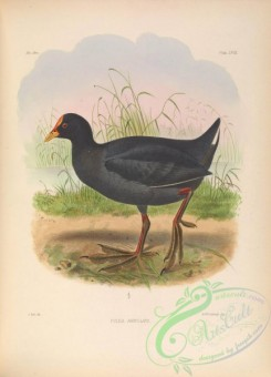 rails-00065 - Red-gartered Coot