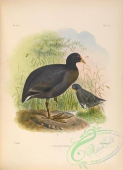 rails-00069 - White-winged Coot
