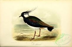 rails-00076 - Northern Lapwing or Peewit or Pewit or Green Plover