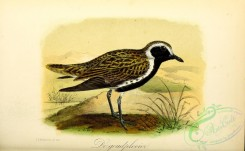 rails-00077 - European Golden Plover