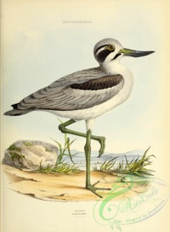 rails-00084 - Great Thick-knee