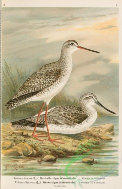 rails-00109 - Spotted Redshanks, totanus fuscus, Common Greenshank, totanus littoreus, 2