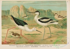 rails-00117 - Black-winged Stilt, himantopus himantopus, Avocet, recurvirostra avocetta