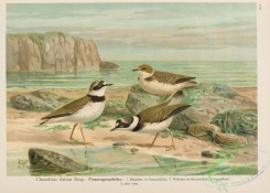 rails-00127 - Little Ringed Plover, charadrius dubius