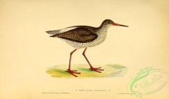 rails-00142 - Common Redshanks