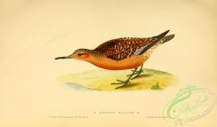 rails-00149 - Red Knot