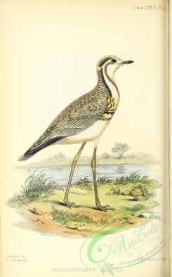 rails-00169 - Three-banded Courser, hemerodromus cinctus