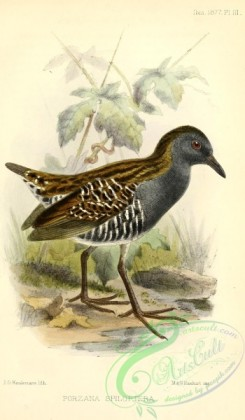 rails-00176 - Dot-winged Crake, porzana spiloptera