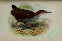 rails-00181 - Red-winged Wood-Rail, aramides calopterus