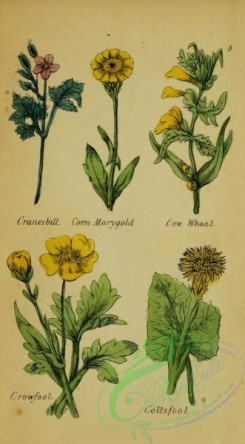 ranunculus-00015 - Cranesbill, corn Marygold, Cow Wheat, Crowfoot, Coltsfoot