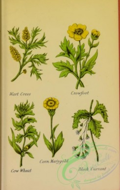 ranunculus-00016 - Wart Cress, Crowfoot, Cow Wheat, Corn Marygold, Black Currant