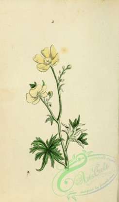 ranunculus-00031 - King-cup or Meadow Crowfoot