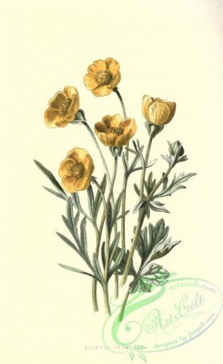 ranunculus-00038 - Bulbous Crowfoot