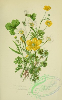 ranunculus-00072 - 003-Water Crowfoot, Ivy-leaved Crowfoot, Alpine White Crowfoot, Great Spearwort, Lesser Spearwort - ranunculus aquatilis, ranunculus hederaceus, ranunculus alpestris, lingua, ranunculus flammula