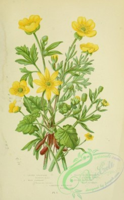 ranunculus-00074 - 005-Lesser Celandine, Wood Crowfoot, Celery-leaved Crowfoot, Bulbous Buttercup, Creeping Buttercup - ranunculus ficaria, ranunculus auricomus, ranunculus sceleratus, ranunculus bulbus, ranunculus repens
