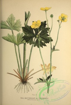 ranunculus-00311 - Tall Buttercup or Crowfoot, ranunculus acris
