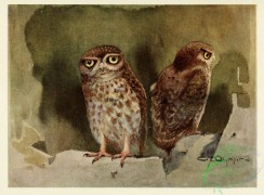 raptors-00026 - LITTLE OWL