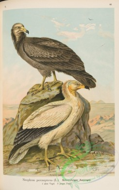 raptors-00063 - Egyptian Vulture, neophron percnopterus