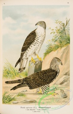 raptors-00072 - European Honey-buzzard, pernis apivorus